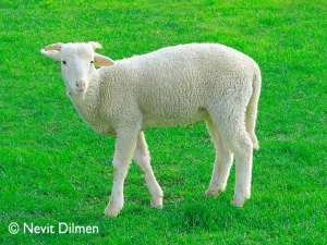 This is a lamb, not a rabbit. (Wikimedia Commons, w/copyright displayed)
