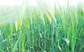 Spring Barley (Wikimedia Commons)